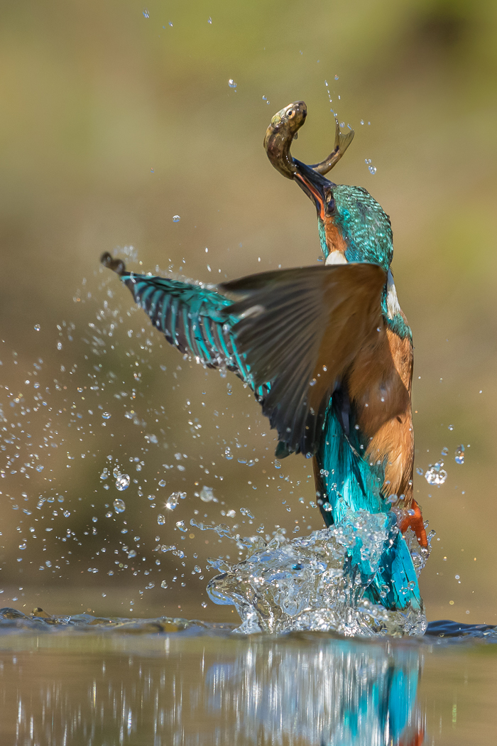 A3 Rising Kingfisher with fish