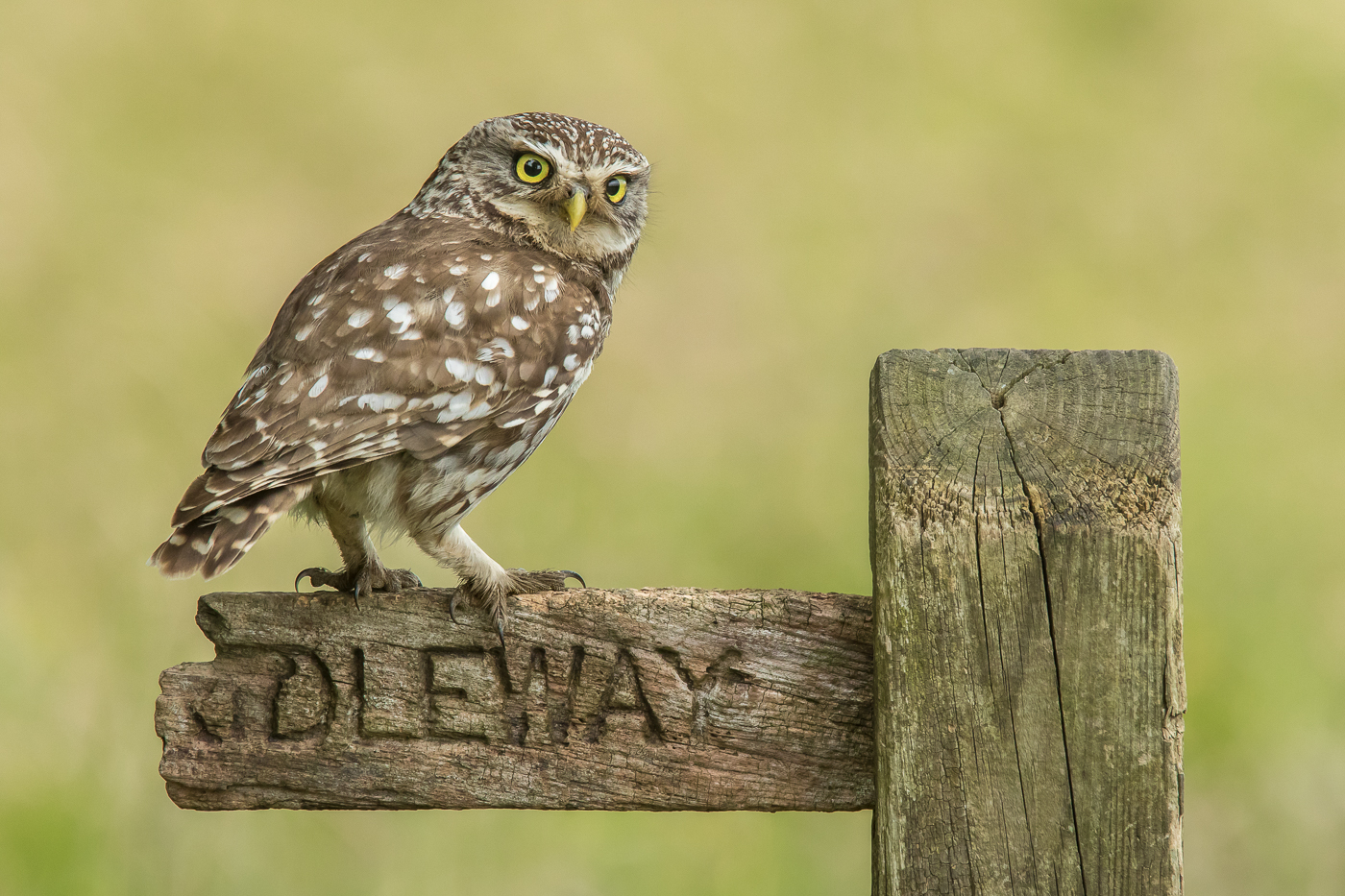 A4 Wild Little Owl