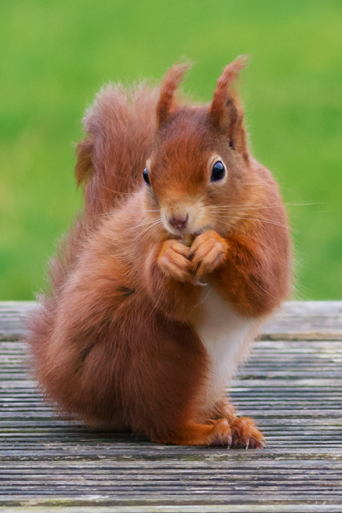 C6 Red Squirrel