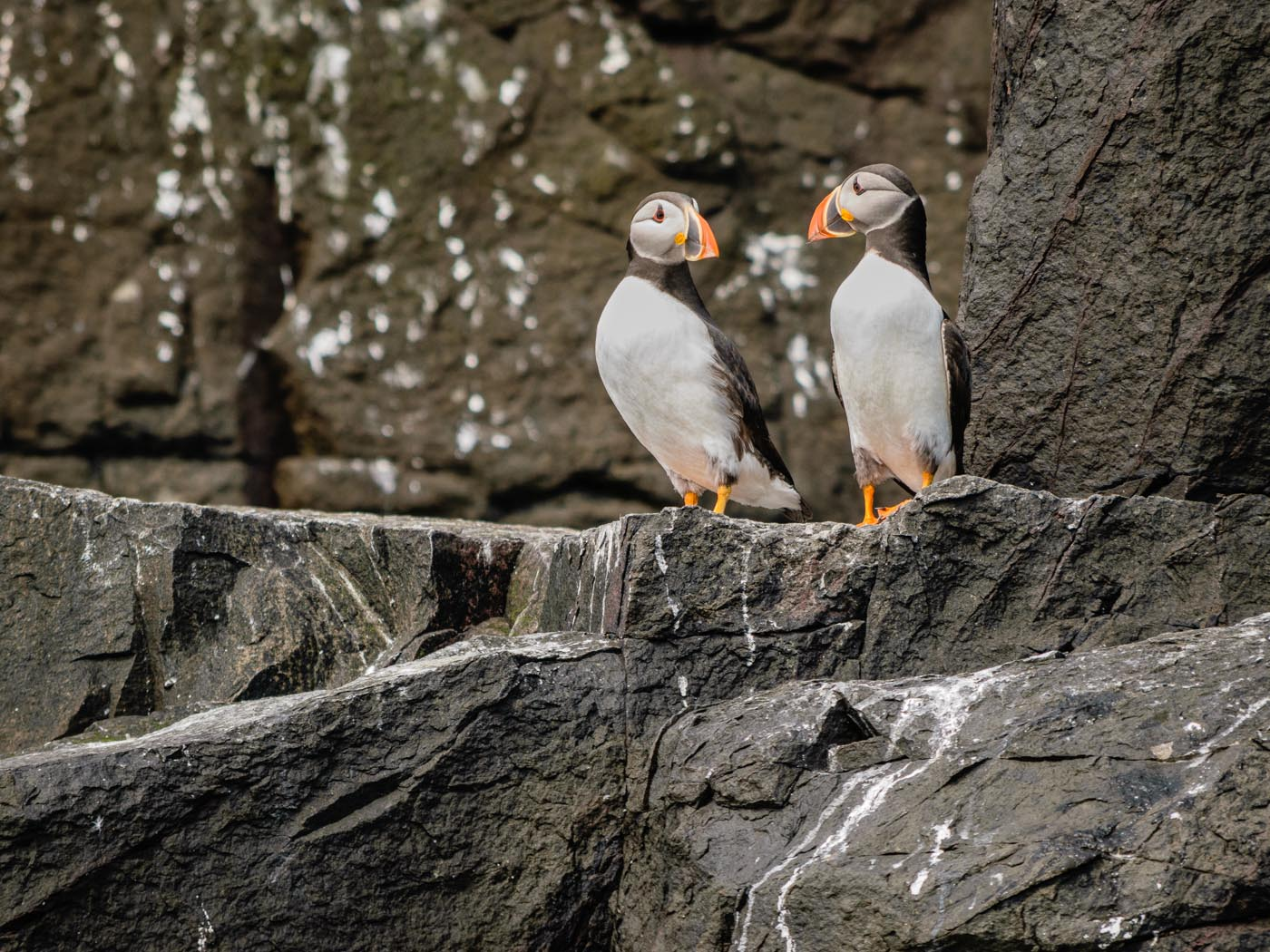 A pair of Chuffin Puffins