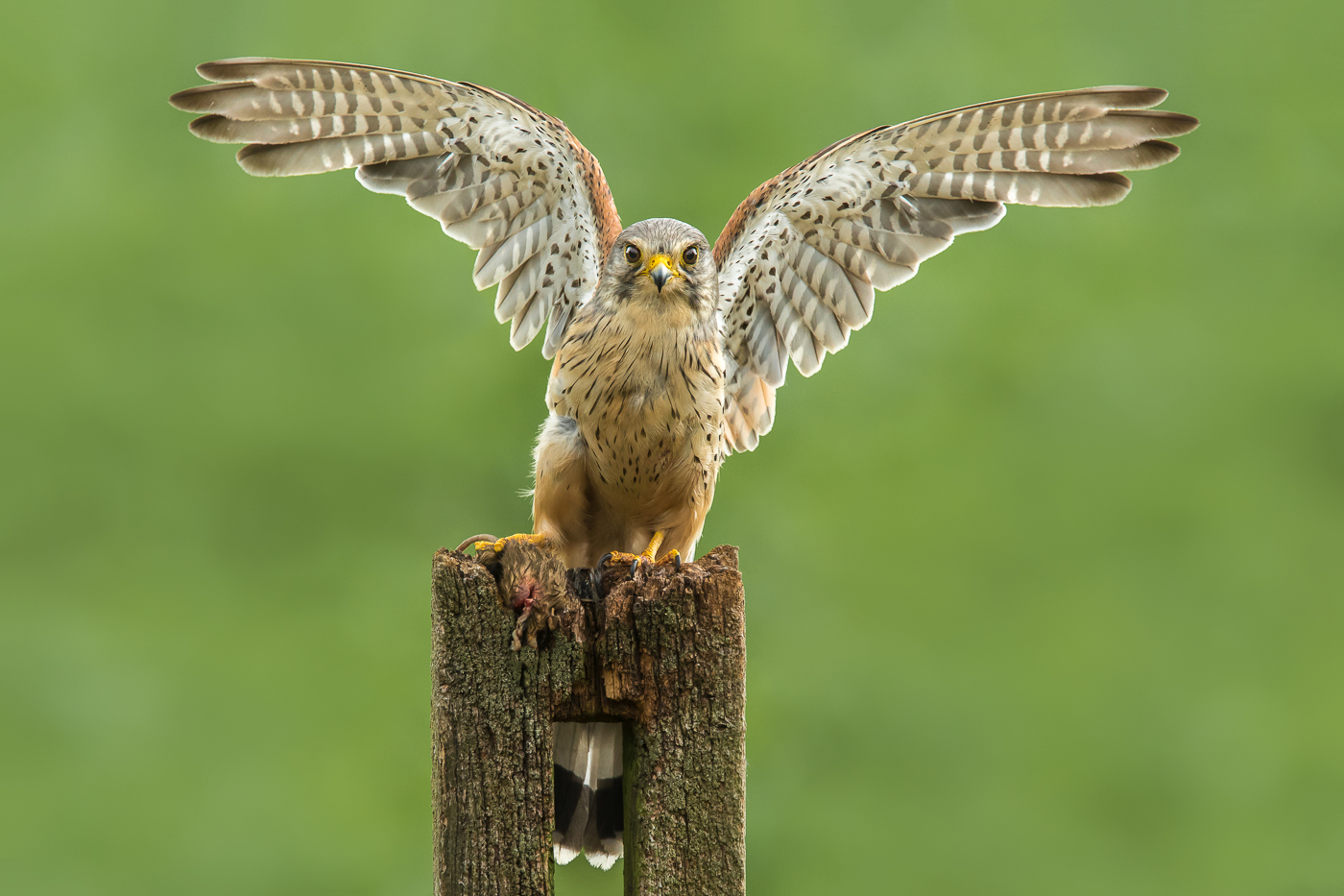 Blake Wardle Male Kestrel with prey