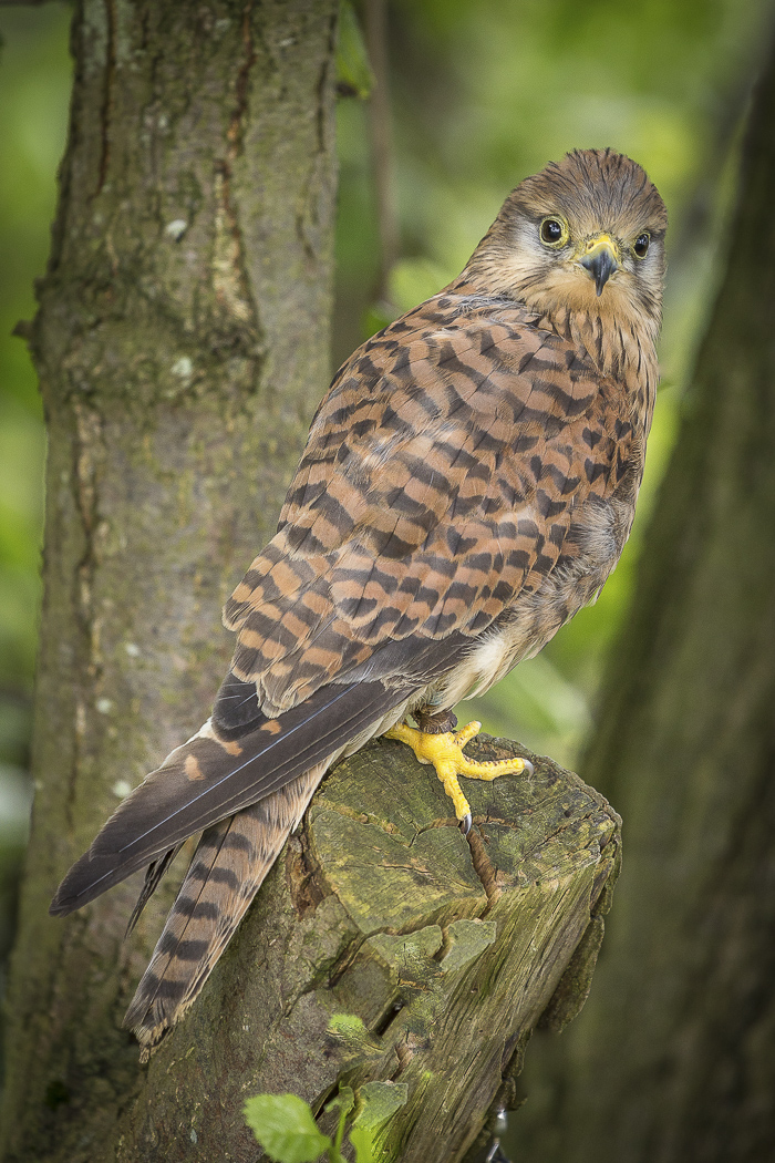 Female Kestrel Ken Tebay