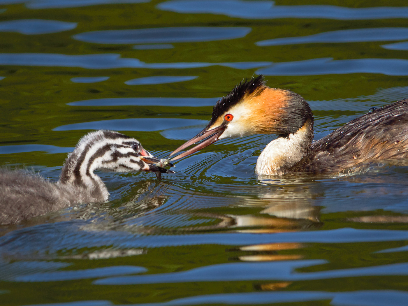 Great Crested Grebe feeding young web