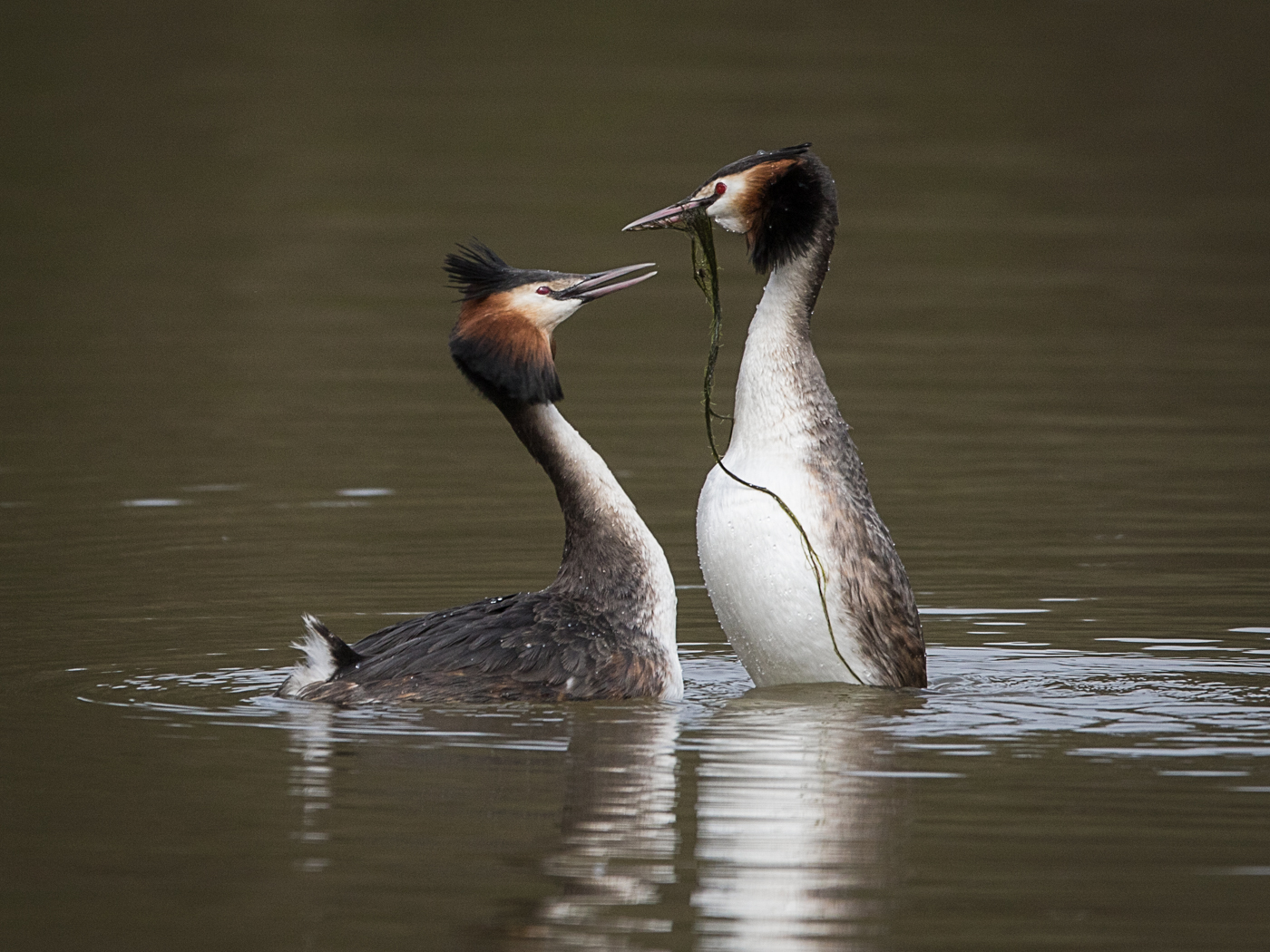 Great Crested Grebes Weed Dance