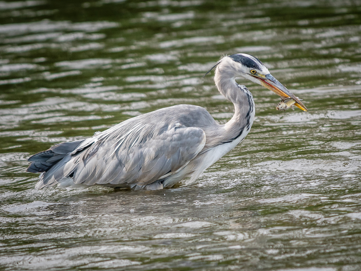 Grey Heron with Fish web