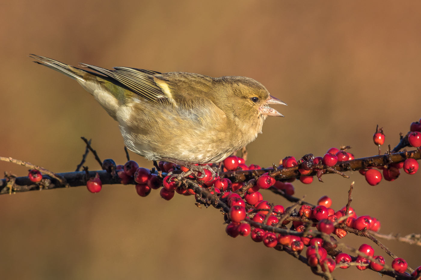 Juvenile Chaffinch on red Berries