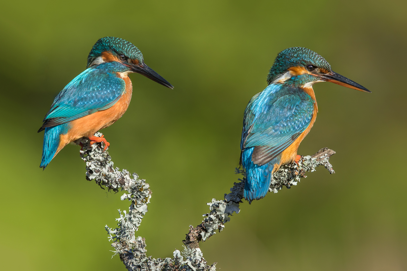 Male and Female Kingfisher