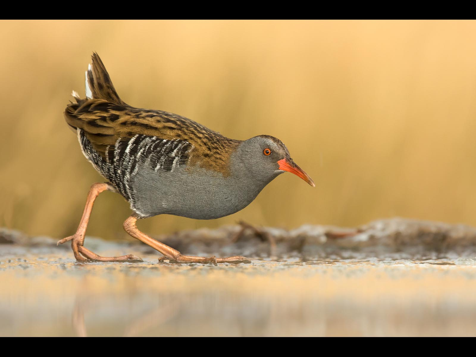 Female Water Rail