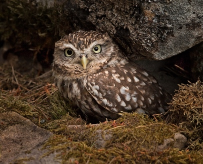 Towell Little Owl Reduced Small
