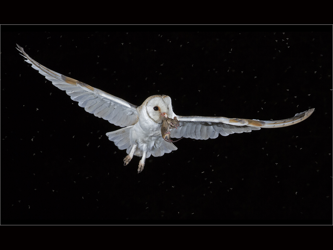 Wild Barn Owl with Mouse and Midges