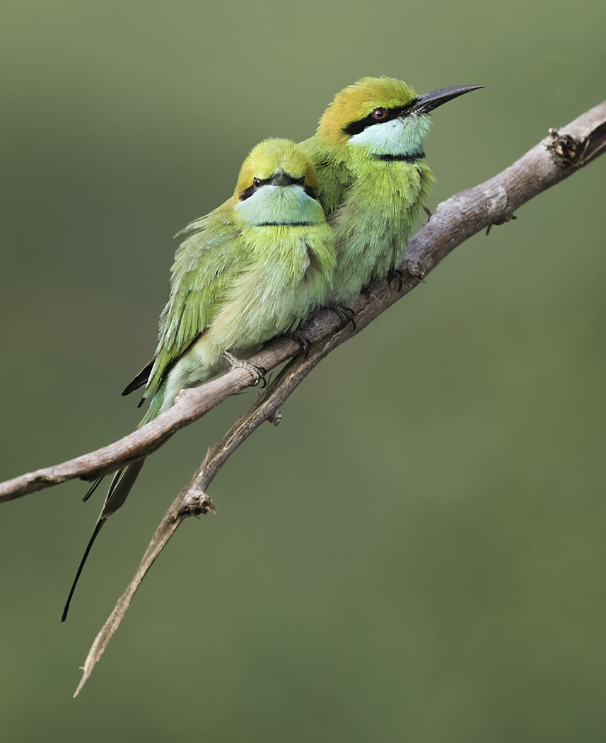 DSC 7187 Edit Edit Two Bee Eaters 1400 x1050