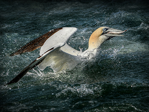 Gannet Surfacing with Fish websize