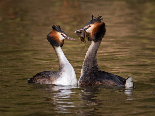 Gteat Crested Grebes Courting
