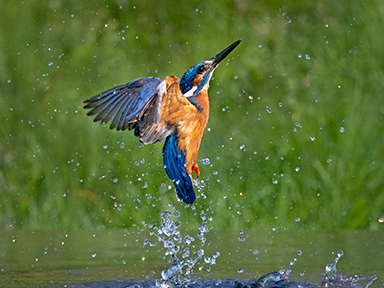 R.Towell Kingfisher Rising.jpg.web size