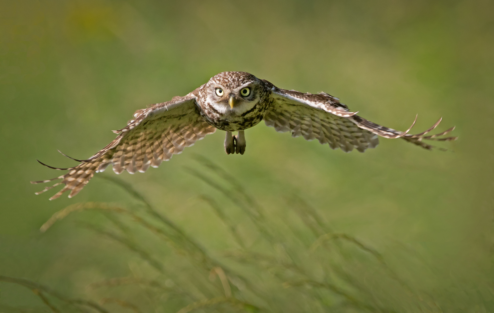 Richard Towell Wild Little Owl