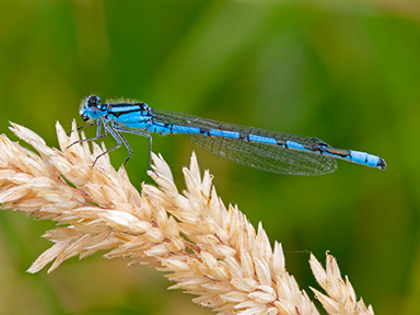 Towell PDI Common Blue Damselfly websize