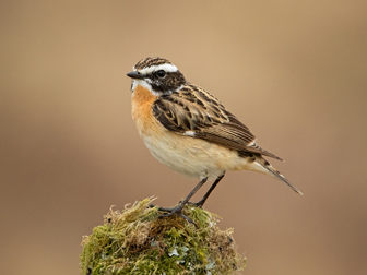Whinchat small