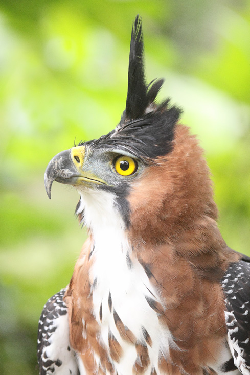 07_Crested_Serpent_Eagle