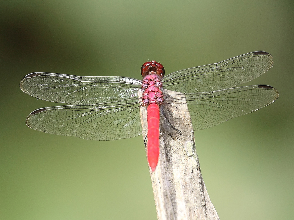 14_Red_Amazonian_Dragonfly