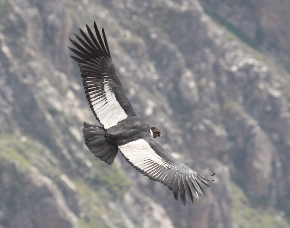 18_Male_condor_in_flight