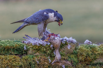 Peregrine Falcon with Teal Websize