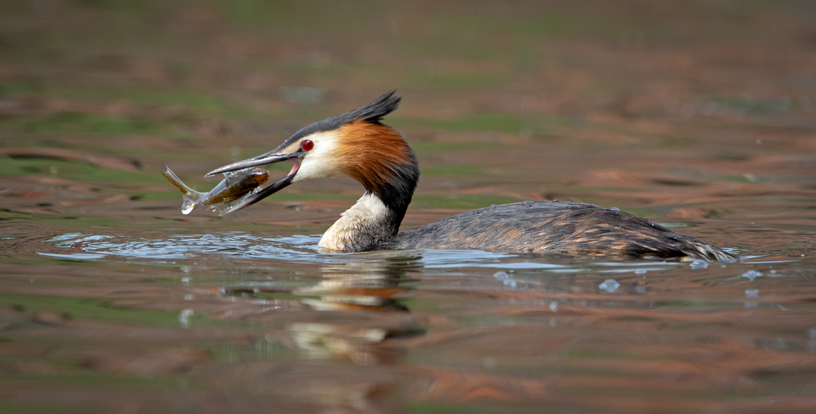 Great_Crested_Grebe_Turning_Fish.jpg